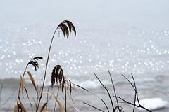 Beach Grass and Waves (imageClear) Tags: grass beachgrass nature light waves lakemichigan beauty shore plants aperture nikon d500 80400mm imageclear flickr photostream