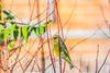 European Greenfinch (hammy1812) Tags: garden greenfinch oldham european finch manchester