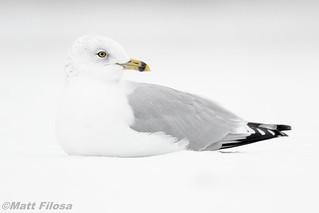 Ring-billed Gull in Snow