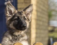zara fence (md kingston) Tags: nikon d750 70200 outdoor pet dog gsd german shepherd garden daylight playful puppy cute
