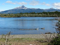 Upland geese (Linda DV (away)) Tags: canonpowershotsx40hs 2016 geotagged lindadevolder travel southamerica argentina patagonia chile torresdelpaine ribbet goose magellangoose chloephagapicta anseriformes