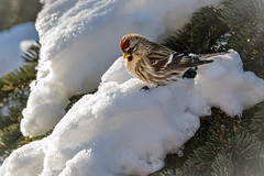 Redpoll on snow (arenkert) Tags: droh dailyrayofhope