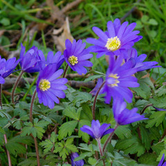 Purple wood anemones (Dave_A_2007) Tags: flower nature plant woodanemone worcester worcestershire england