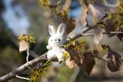 Hamamelis mollis and Rabbit (Ichigo Miyama) Tags: シナマンサクとうさぎ rabbitシナマンサク 支那満作 hamamelismollisマンサク科 hamamelidaceae マンサク属 hamamelisくらしの植物苑 flower plant うさぎ