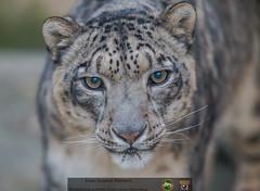 IMG_6961-3 (Mehran Khan) Tags: snow leopard wildlife worldwildlife worldwildlifeday 2017 canon6d 70200mmf28 animals pakistan endagered wildspecie eyes portrait wild himalayan beaut
