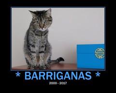 Bye my dear Barriganas ! :'( (Silvia Inacio) Tags: barriganas tabby cat cats gato gatos tribute pet rainbowbridge fdsflickrtoys
