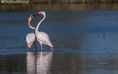 Flamingo's romance (christiandetomassi) Tags: bird birds flamingo animal nature natural wild free wings wildlife life love passion pink water florence firenze sun lake sea tbt iphone canon samsung instamood instalove