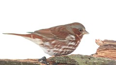Fox Sparrow (Passerella iliaca) (Steve Byland) Tags: fox sparrow passerella iliaca panasonic vx870 4k video