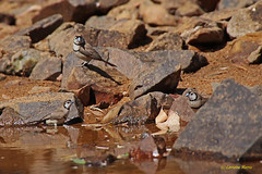 Owl-faced (aussiegypsy_Land of Tables, FNQ) Tags: wild brown black bird nature water creek forest three bush rocks long drink native nt wildlife tail small country flock group australian drinking rocky australia spots finch remote spotted trio aussie waterhole common northern grassland eastern endemic isolated tailed northernterritory birdlife topend taeniopygiabichenovii groundfeeder doublebarred brownbacked owlfaced grassfinch poephilabichenovii katherinent katherineregion fergussonriver