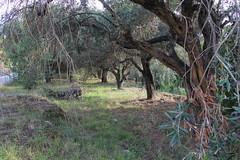 Trer (Benny Hnersen) Tags: trees holiday trer bum greece griechenland ferie sivota syvota 2015 augsut grkenland