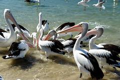 Its Mine (Jocey K) Tags: seagulls pelicans water birds river sand labrador australia chips queensland surfersparadise goldcoast triptoqueenslandbrisbane