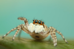 Menemerus semilimbatus (shimie) Tags: color green eye nature grass animal les forest canon hair insect eos spider moss jumping eyes outdoor arachnid extreme 100mm jed l jumper slovakia spinne usm poison predator mach oci salticus arachnos chlp skakavka chelicery