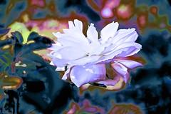 Bulla Rose (maginoz1) Tags: abstract art canon spring flora australia victoria blooms bulla g3x september2015