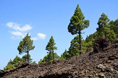 dennenbomen op de  vulkaan Birigoyo, La Palma 2015 (wally nelemans) Tags: volcano lapalma canaryislands pinetrees islascanarias vulkaan volcn 2015 canarischeeilanden dennenbomen birigoyo