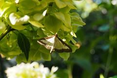 selyemfny puszpngmoly / box tree moth (debreczeniemoke) Tags: summer garden insect moth kert insecta nyr rovar crambidae molie lepke rovarok buchsbaumznsler cydalimaperspectalis boxtreemoth pyraledubuis olympusem5 piralidedelbosso selyemfnypuszpngmoly csrsmoly omidaparoasaabuxusului csrsmolyflk