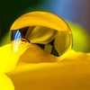 yellow (peter manintveld) Tags: yellow daffodil geel narcis mpe65 waterdruppel