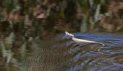 Grass snake on the water (Steve Balcombe) Tags: uk grass swimming reptile snake somerset ripples levels natrix natrixnatrix shapwickheath