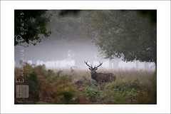 Red Deer wood (Emmanuel DEPARIS) Tags: uk red photo nikon richmond deer emmanuel cerf d4 animalier deparis