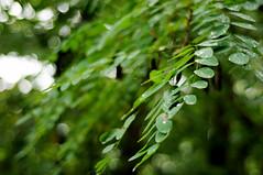HBW! :) (Frau Koriander) Tags: leaves forest germany deutschland 50mm leaf drops dof hessen bokeh branches raindrops f18 waterdrops äste wald blätter tropfen zweige odenwald regentropfen geäst hbw fischbachtal happybokehwednesday nikond300s