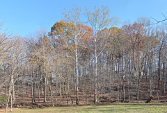Wall of trees November 15, 2015-s (clw_and_dog) Tags: panorama art landscape photography photo fineart images panoramic photographic photographs fineartphotography panoramics panograph panogram panoramiclandscape panoscape newmexicophotography marylandphotography panogaph panoramiclandscapephotos