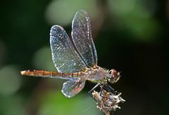 Blutrote Heidelibelle, Sympetrum sanguineum (staretschek) Tags: weibchen heidelibelle sympetrumsanguineum blutroteheidelibelle segellibelle