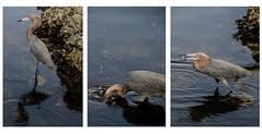 Snacks #Reddish #Egret #Florida #wildlife (NetAgra) Tags: bird island fishing florida wildlife endangered darling ding egret captiva reddish nwr captivaisland reddishegret dingdarlingnwr