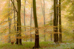 patterns of fall (pixellesley) Tags: autumn trees mist fall leaves silhouette fog forest woodland landscape trunks ferns autumnal beeches filteredlight