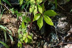 Creeper (Genus Parthenocissus) (Finatic 's iNaturalist Stream) Tags: plants parthenocissus