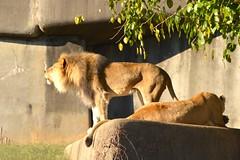 DSC_1230 (gobucks2) Tags: cats zoo lions wildanimals 2015 louisvillezoo november2015 louisvillekentuckyzoo fall2015
