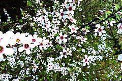 manuka (Jerryhattric) Tags: spring northisland eastcoast bayofplenty manuka leptospermum ohiwaharbour manukahoney nzteatree panasoniclumixdmcfz200 whakatanedistrict savethebeesweneedthem