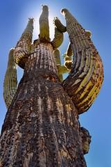 Looking Up to a Tall Saguaro Cactus While on the Catalina Highway (thor_mark ) Tags: nikond800e day1 coronadonationalforest lookingsw lookingup capturenx2edited colorefexpro desert desertlandscape sonorandesert saguaro cactus carnegieagigantea saguarocactus sun sunshiningbehindcactus outside landscape nature sunny blueskies catalinahighway generalhitchcockhighway pimacounty skyislandscenicbyway mountlemmonhighway arizonaforesthighway39 desertplantlife arborescenttreelikecactus project365 arizona unitedstates