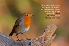 Merry Christmas Everyone (redmanian) Tags: merry christmas robin bird ian redman