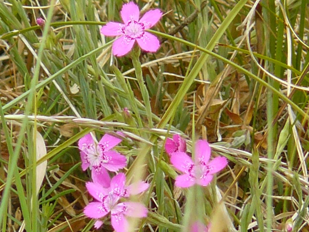 Dianthus deltoides- Heidenelke5