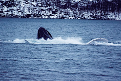 Humpback Whale feeding on Herring (Jason Shorten) Tags: sigma d5300 nikon humpback whale arctic norway kvaloya sea wildlife nature cold mammal splash europe flickr