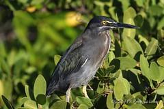 Airone (Roberto Lauro) Tags: viaggi travel natura nature galapagos ecuador uccelli bird wildlife canon