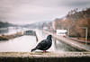 Prepared for Freedom (Thomas Listl) Tags: thomaslistl würzburg dove freedom color blur bokeh autumn water river main bridge