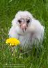 Barn Owlet (Miles Away Photography - Mandi Miles) Tags: red barn owl barnowl owlet baby nest egg hatch hatchling fledge fledgling green grass habitat eyes feather silent wise flight fly bird avian