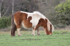 Grazing (roger_forster) Tags: shetland pony newforest hampshire longbeech road grazing
