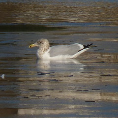 Herring Gull (Dendroica cerulea) Tags: americanherringgull herringgull larussmithsonianus larusargentatussmithsonianus larus laridae lari charadriiformes aves bird birds gull pond ice winter donaldsonpark highlandpark middlesexcounty nj newjersey