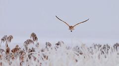 Barn owl (Tyto alba) on a dark, cold, foggy, and frosty day (rangerbatt) Tags: