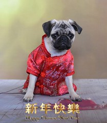 Happy Chinese New Year (DaPuglet) Tags: chinesenewyear newyear rooster kimono pug puppy dog pets chinese animals celebration party 2017 year cute dogs pugs pet holiday animal bokeh