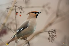 Estampe (Franck Sebert) Tags: jaseur boréal bombycilla garrulus bohemian waxwing pestvogel bird oiseau europe wild wildlife 5d mark iii ef400mm f28 ef14x belgique fevrier