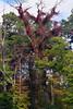 virginia creeper (ophis) Tags: vitales vitaceae parthenocissus parthenocissusquinquefolia virginiacreeper snag redoak quercusrubra
