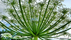 Riesen-Bärenklau (vszy) Tags: giant hogweed riesenbärenklau vszy natur flower green blumen