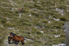 Cerf et chevaux (Patrice Baud) Tags: chevaux cheval cerf élaphe reddeer hirsch nikon d7100 nikkor300f4 cerdagne montagne pyrénées wildlife animal sauvage ciervo deer