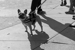 ServiceDog (ArielImages) Tags: sonya7s2 50mm zeiss bw dog frenchbulldog servicedog