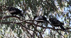 White-winged Chough (Corcorax melanorhamphos) (iainrmacaulay) Tags: bird australia whitewinged chough corcorax melanorhamphos