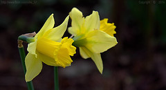 Delights.. (Ollie_57.. on/off) Tags: bloom flower flora daffodils narcissus plant petals nature bokeh hbw canon ef24105mm 7d winter 2016 shaldon westcountry devon england uk affinityphoto ollie57