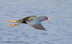 Purple Gallinule in Flight (rosemaryharrisnaturephotography) Tags: purplegallinule purple florida nature rosemaryharris flight water blue wildlife bird gallinule marsh coth naturethroughthelens alittlebeauty ngc