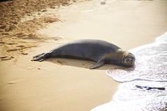 Monk Seal (cookedphotos) Tags: canon 5dmarkii travel hawaii kauai poipu beach poipubeach park sand ocean pacific vacation relax seal monkseal